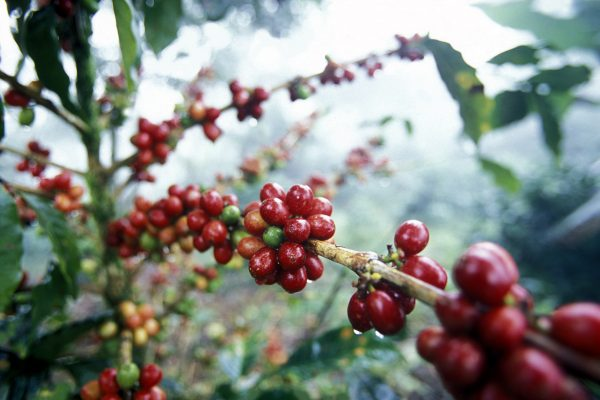 Antigua (Café et Avocats)  / Chichicastenango
